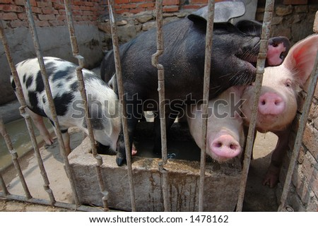 pigs in Chinese farmer's home