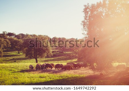 pigs in glassland at sunset, Extremadura, Spain