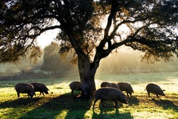 Pigs in montanera in the Dehesa in Extremadura eating acorns at dawn