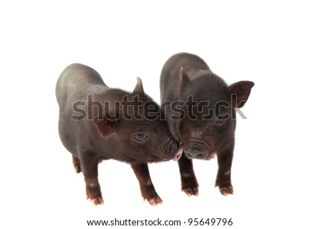pigs isolated on a white background