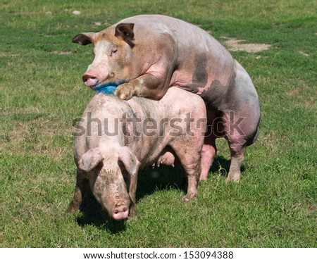 Pigs Mating On Farm Stock Photo 153094388 : Shutterstock