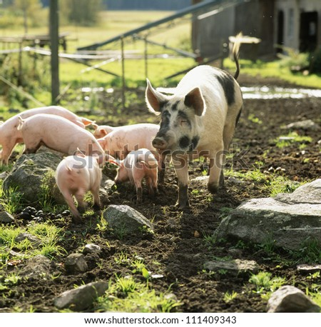 Pigs on a farm