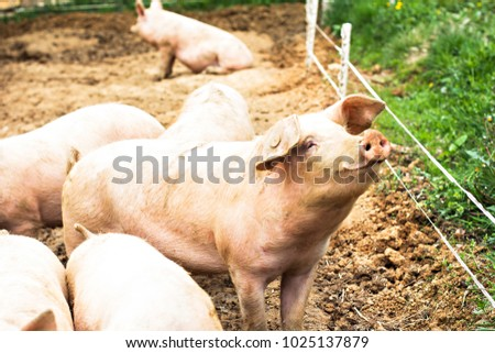 Pigs on the farm. Happy pigs on pig farm with girl. piglets ストックフォト ©