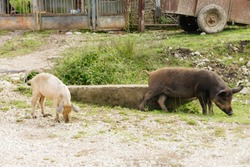 pigs walk near the House in the village