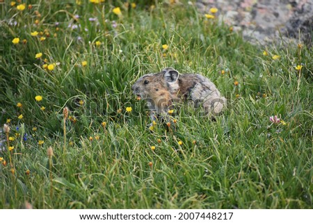 Pika feeding in the alpine tundra of Rocky Mountain National Park, Colorado, USA Zdjęcia stock ©