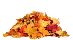 Pile of autumn colored leaves isolated on white background.A heap of different maple dry leaf .Red and colorful foliage colors in the fall season