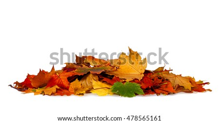 Pile of autumn colored leaves isolated on white background.A heap of different maple dry leaf .Red and colorful foliage colors in the fall season  #478565161