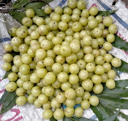 Pile of beautiful green Amla. Enormous size fresh amalki in the street market for sale and (Phyllanthus emblica) very useful for Ayurvedic herbal medicine treatment.