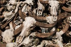 Pile of Buffalo skulls