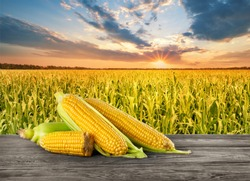 Pile of cobs of corn on wooden table in the background of cornfield at sunset