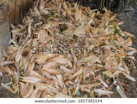 Pile of corn husks in the shed. Corn husks. Dried corn husks. The husk is left from corn after the harvest season Stock photo ©