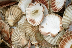 Pile of empty clam shells