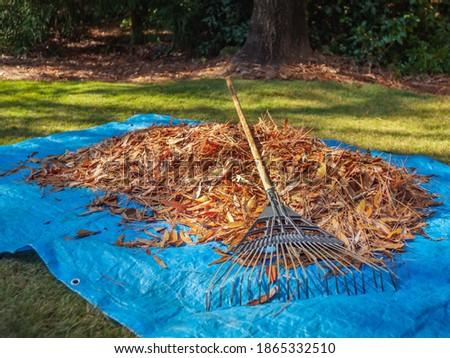 Pile of fall leaves and fan rake on blue tarp. Backyard autumn leaf raking and removal using garden rake. Stock photo ©