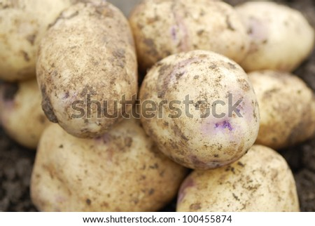 Pile of freshly harvested Kestrel potatoes.
