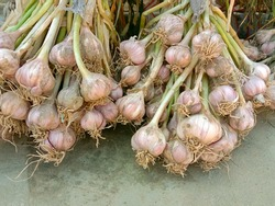 Pile of Garlic bulb or cloves after harvesting. Used in many foods. Healthy food. Unwashed garlic. A strong-smelling pungent-tasting bulb, used as a flavoring in cooking and in herbal medicine.