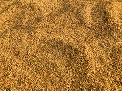 Pile of jasmine paddy rice take a sun to dry on ground after harvested before keep to barn. Golden color of paddy pattern. Freshly harvested