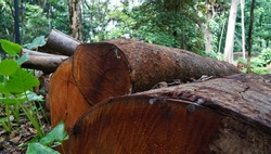 pile of large diameter lumber was cut in Jakarta  city forest.