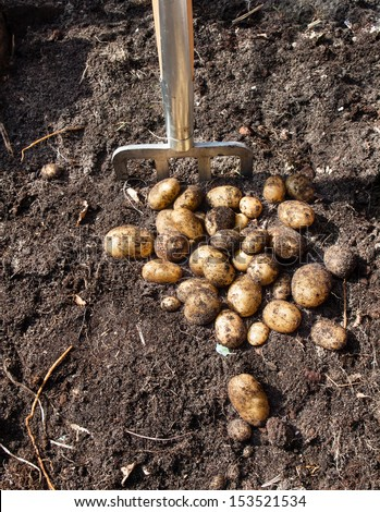 pile of potatoes freshly harvested from a kitchen garden and garden fork with rich dark garden soil