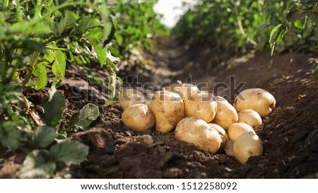 Pile of ripe potatoes on ground in field