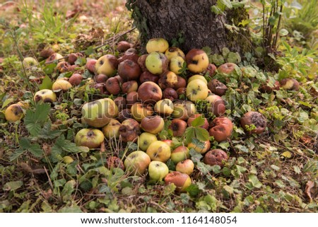 Pile of rotten apples on the ground in nature near the apple tree. Fruit. Decomposing apples