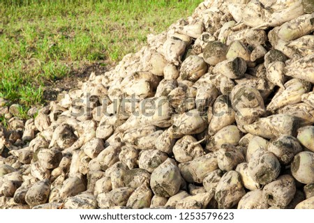 Pile of sugar beets in a sunny autumn day.