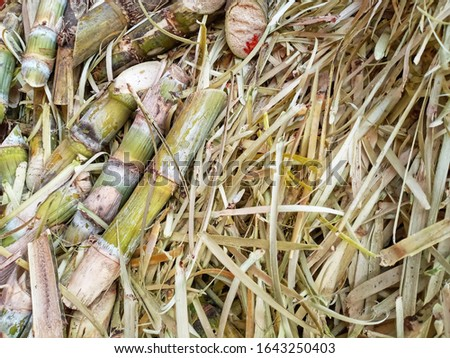 Pile of Sugarcane and peel after finished sugar producing in the factory.