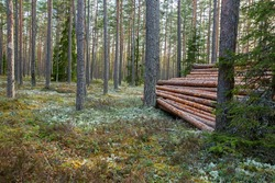 Pile of wood in the forest. Felled logs piled together in beautiful pine forest in Estonian nature