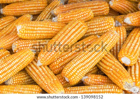 Pile of yellow dried corns  for animal feeding
