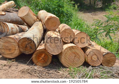 pile up of eucalyptus trees collected for paper industry