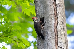 pileated woodpecker bird at Vancouver BC Canada