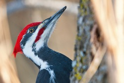 Pileated woodpecker close up portrait
