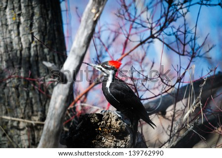 Pileated Woodpecker in the forest in spring, Alberta Canada
