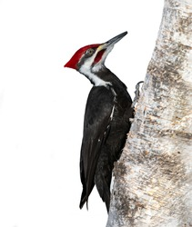 Pileated Woodpecker on White Background, Isolated