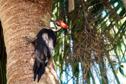 Pileated Woodpecker taken in Naples Florida by photographer John Slawik. These Woodpeckers are common throughout Southwest Florida.