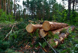 Piled pine tree logs  in forest. Stacks of cut wood. Wood logs, timber logging, industrial destruction. Forests illegal Disappearing. Illegal deforestation Environmetal concept.