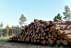 Piled pine tree logs  in forest. Stacks of cut wood. Wood logs, timber logging, industrial destruction. Forests illegal Disappearing. Environmetal concept, illegal deforestation.