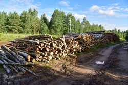 Piled pine tree logs  in forest. Stacks of cut wood. Wood logs, timber logging, industrial destruction. Forests illegal Disappearing. Environmetal concept, illegal deforestation and ecology