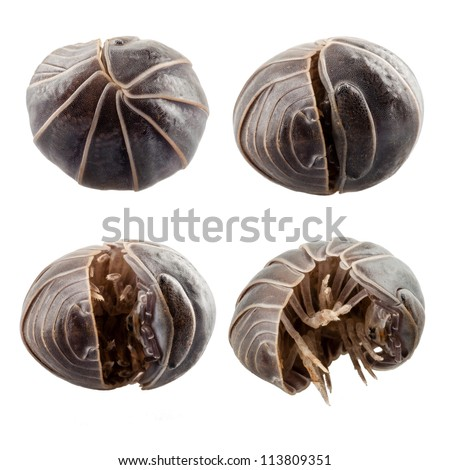 Pill-bug armadillidium vulgare species opening,  isolated on white background