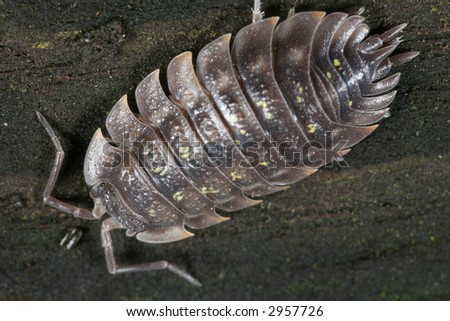 Pill bug viewed from the top