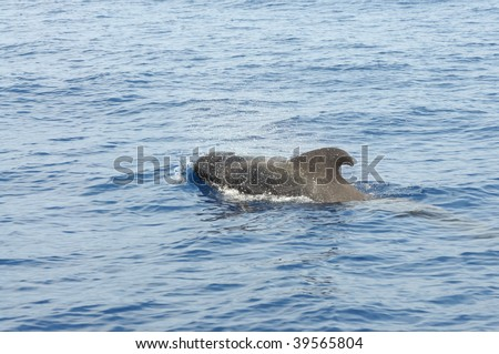 Pilot whale at the coast of Tenerife, Canary Islands Spain