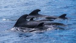 Pilot whale family group atlantic ocean Madeira