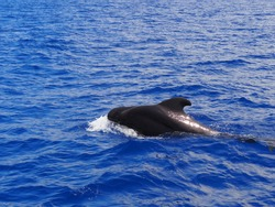 Pilot whale on the surface of the Atlantic ocean, off the coast of Tenerife taking air before diving back down too the depths, its fin standing tall. Making a splash as it goes.