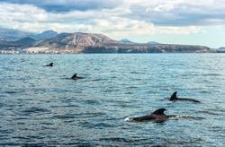 Pilot whales on Tenerife