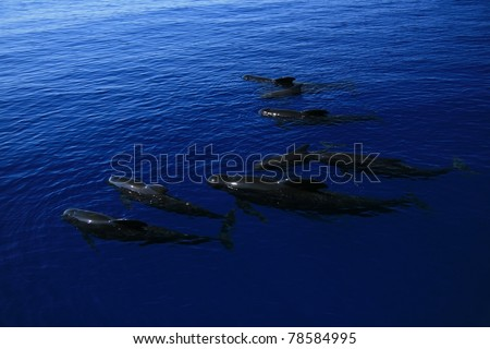 Pilot whales on the ocean