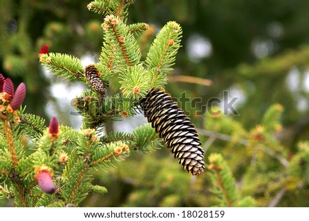 Pinaceae cones  containing the reproductive structures of the tree. The picture show both male and female cones.