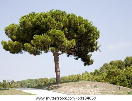 Pinaceae, Pinus canariensis, pine  tree - stock photo