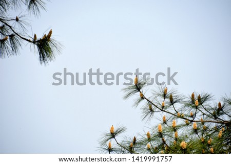 Pine and pine nuts on a solid background #1419991757