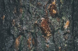 Pine bark background. Bark of a big tree in the forest. Beautiful dark gray background texture.