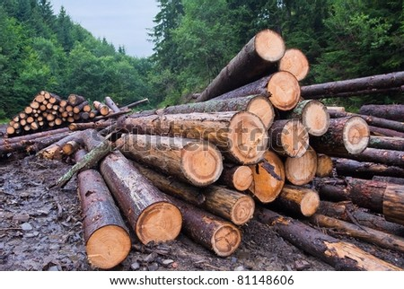 pine barrels in a forest
