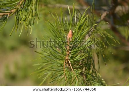 Pine branch. Green branch. Green pine branch close.